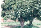 Click for Larger Image - A Mango Tree at a village in Chirumhanzu