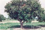 Click for Larger Image - Another mango tree - at a village in Chirumhanzu
